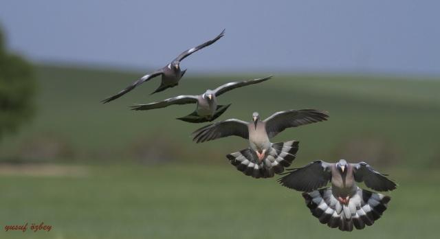 Urfa'nın Kuş Türleri