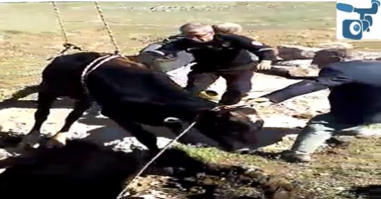 Urfa'da inek kurtarma operasyonu