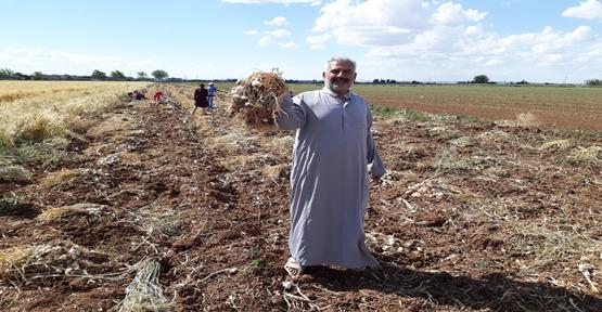 Urfa'da Sarımsak hasadı başladı