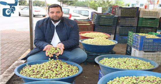 Urfa'da Zeytin Sezonu Başladı