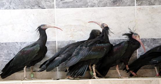 Şanlıurfa'da Kelaynak kuşlarının sayısı 285'e yükseldi