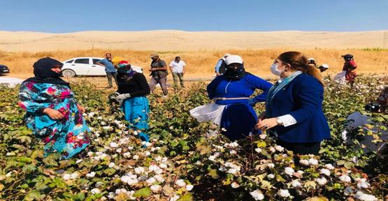 Emekçi kadınlar pamuk hasadında