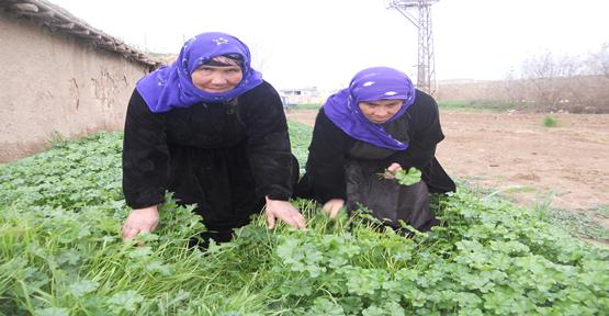 Harran'da Ebe Gümeci Dar gelirlerin Geçim Kaynağı