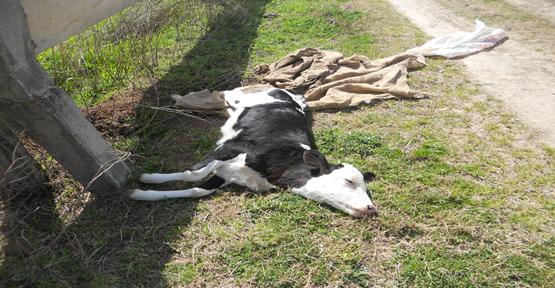 Harran'da İlaçlama Başladı Hayvan Ölümleri Arttı