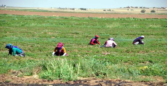 Sıcaklar Tarım İşçilerini Olumsuz Etkiliyor