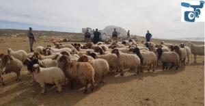 Harran Ovasında Çalınan 75 Koyun Bulundu
