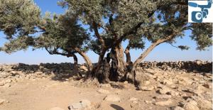 Şanlıurfa'da Bin 350 yıllık zeytin ağacı bulundu