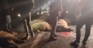 """Harran""""da kamyonet koyun sürüsüne daldı: 21 koyun telef oldu"""