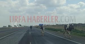Şanlıurfa'da ölümlü yol yine tehlike saçıyor