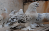 Urfalı İçin Kuş Bambaşka Bir tutku
