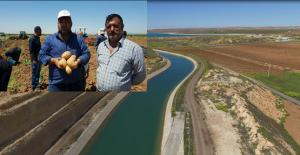 Urfa'da patates yetiştiriliyor