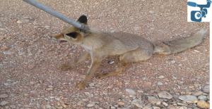 Urfa'da İtfaiye ekipleri çukura düşen tilkiyi kurtardı