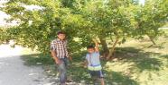 Harran'da muz elması rekora koşuyor