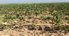 Urfa'da elektrik kesintileri pamukları kuruttu