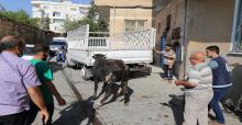 Urfa'da Kaçan Boğalar İğne İle Sakinleştirildi