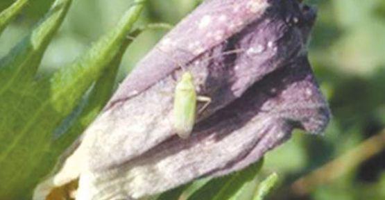Zararlı Böcekler Çiftçilerin Başına Bela Oldu