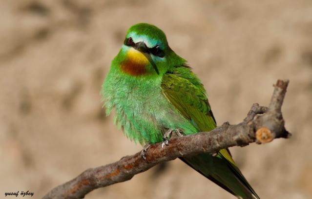 Yeşil arı kuşları