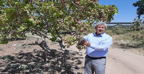 Urfa'da fıstık ağaçları kuruyor