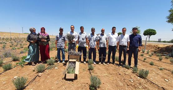 Urfa'da Lavanta hasadı başladı