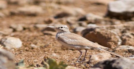 O Kuş türü Urfa'da görüntülendi