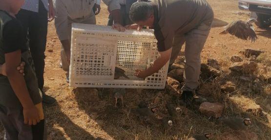 Şanlıurfa'da 50 keklik doğaya bırakıldı