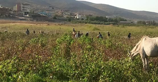 Harran Ovasında pamuk işçileri tarlaya girdi