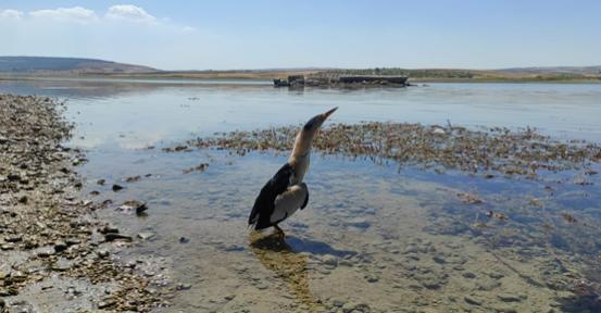 Şanlıurfa'da tedavisi tamamlanan Balaban kuşu doğaya salındı