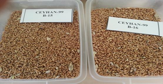 Borsa'da Buğday İhalesi
